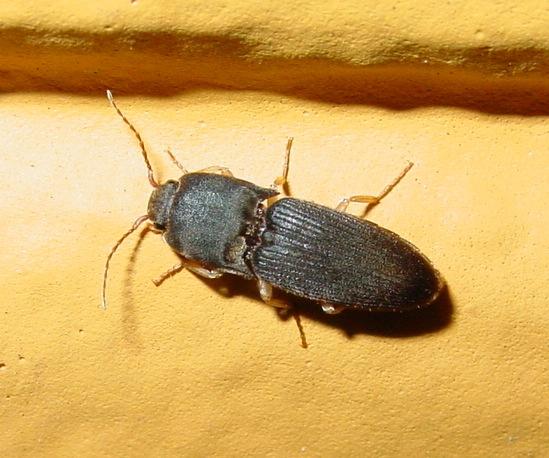 Click beetle - Heteroderes amplicollis