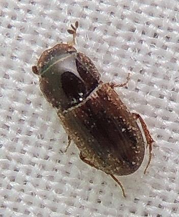 unknown beetle, NJ - Ataenius