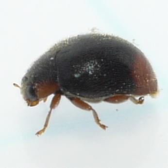 Lady Beetle - Scymnus rubricaudus - male