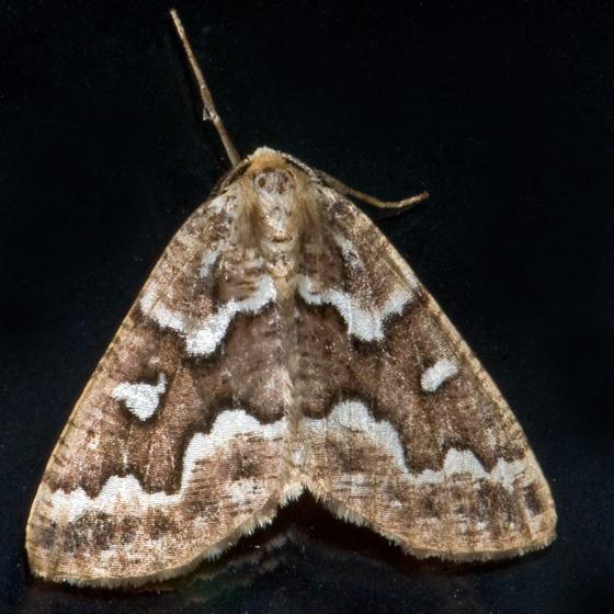 Gray Spruce Looper - Hodges#6863 - Caripeta divisata