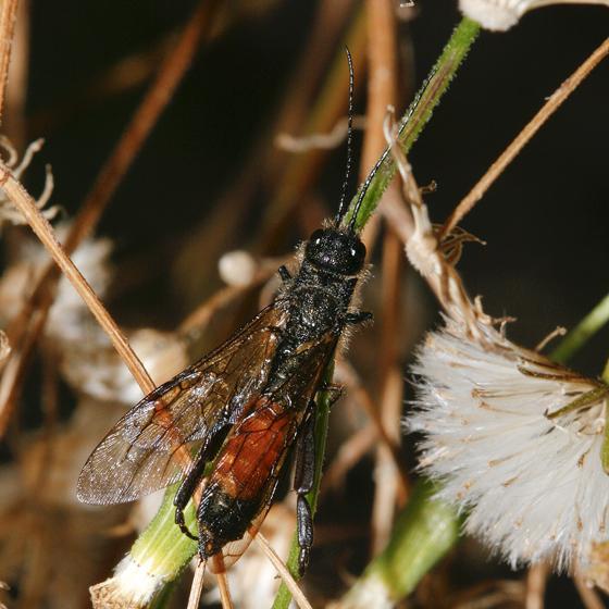 Some kind of Hymenoptera - Sirex areolatus
