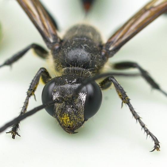 wasp - Isodontia