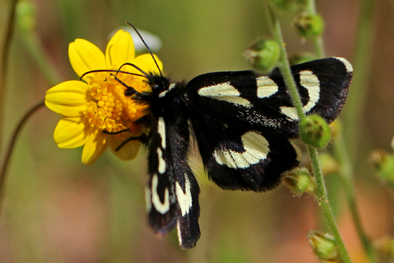 Alypia mariposa