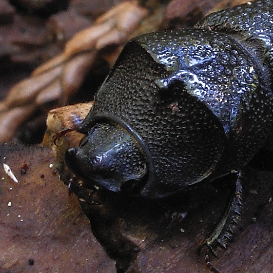 Stag Beetle - Sinodendron rugosum - male