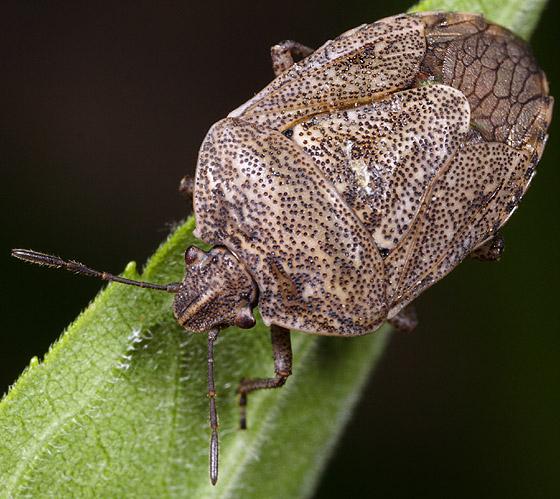 Bug ID - Hymenarcys nervosa