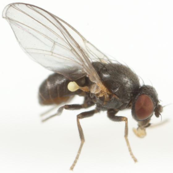 Agromyza princei - male