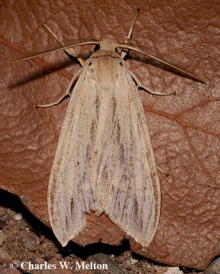 Leucanopsis lurida? - Leucanopsis lurida