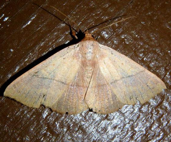 Orange moth - Besma sesquilinearia - female