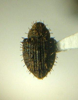Weevil - Microhyus setiger