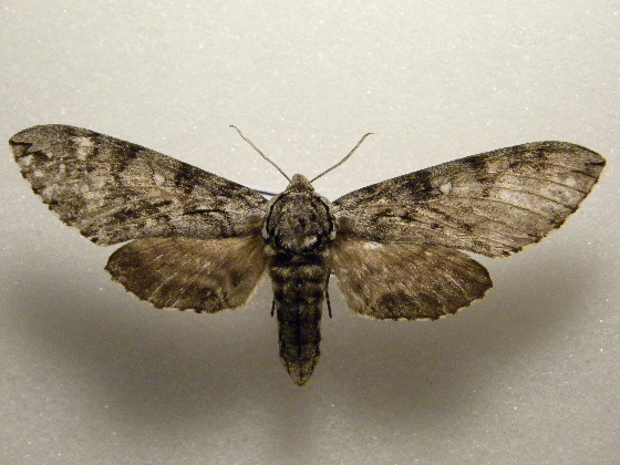 one more sphinx for today... - Ceratomia undulosa