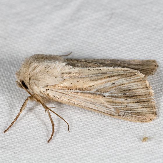 Leucania insueta