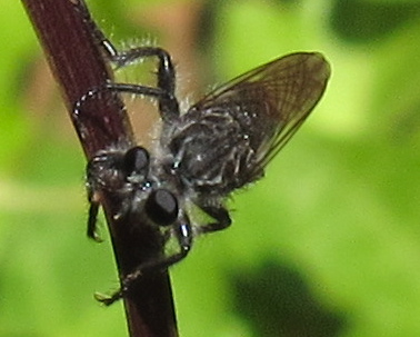 Which species of Robber Fly is this? - Andrenosoma fulvicaudum - male