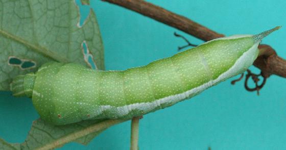 Sphinx Moth Caterpillar - Darapsa myron
