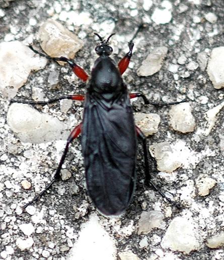 Bug - unident - Bibio femoratus