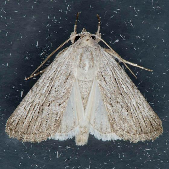 10033  Fine-lined Sallow  - Catabena lineolata