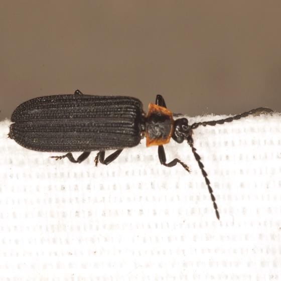 Net-winged Beetle - Eropterus