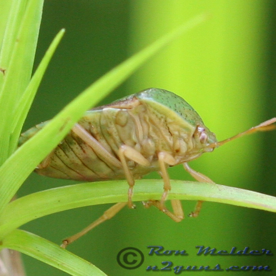 Stink Bug - Ascra bifida