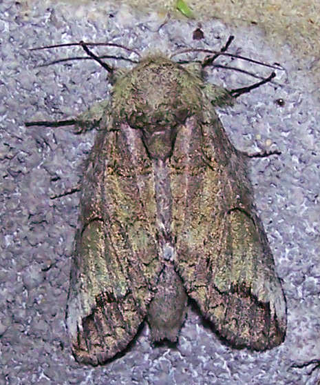 Insect - Heterocampa astartoides