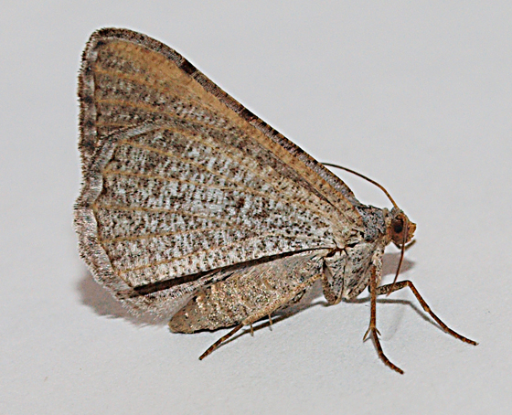 Moth to black light - Digrammia delectata
