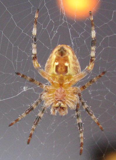 Unidentified spider. Seattle. - Araneus diadematus