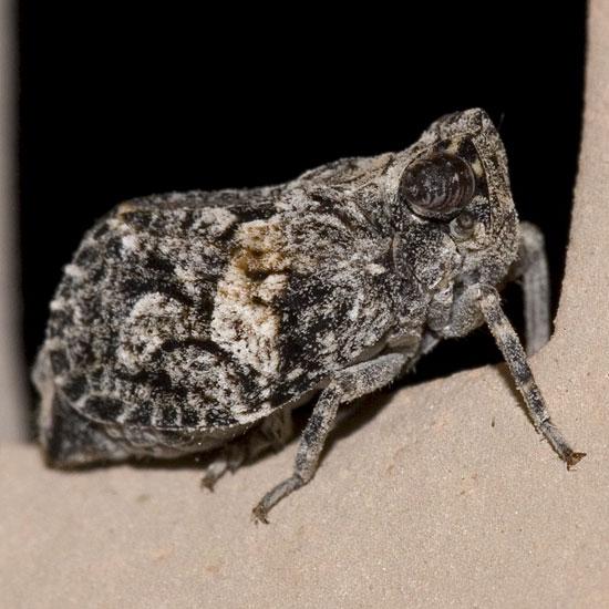 Osbornia sp. - Tylanira ustulata
