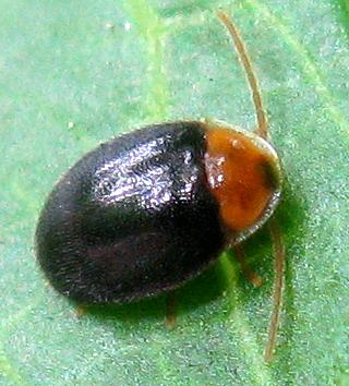 Marsh Beetle - Sacodes thoracica