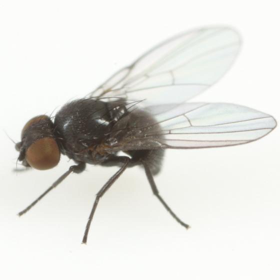 Ophiomyia parda - female