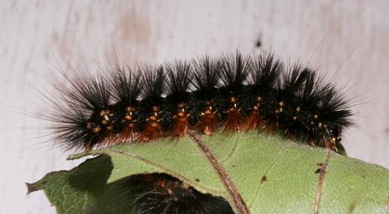 Erebidae, Salt Marsh larva, lateral - Estigmene acrea