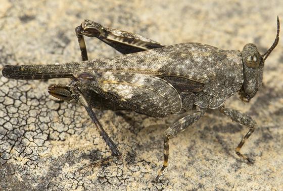 pygmy grasshopper - Paratettix aztecus