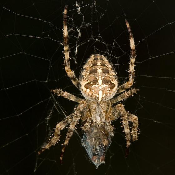 Cross Spider - Araneus diadematus - female