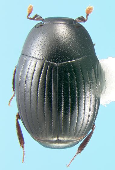 Histerid - Epierus regularis
