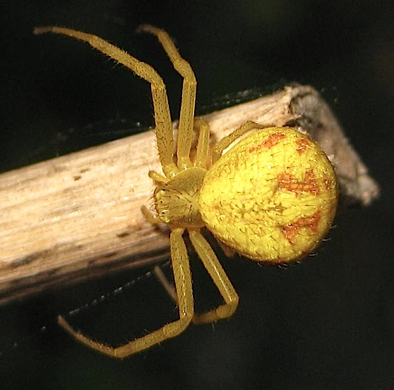 Bright yellow spider - Mecaphesa