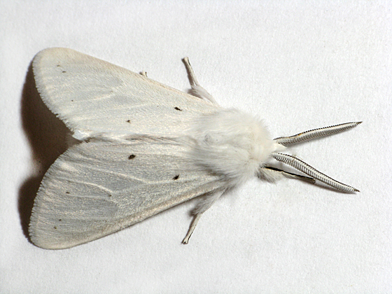 White Furry Moth - Spilosoma congrua - male