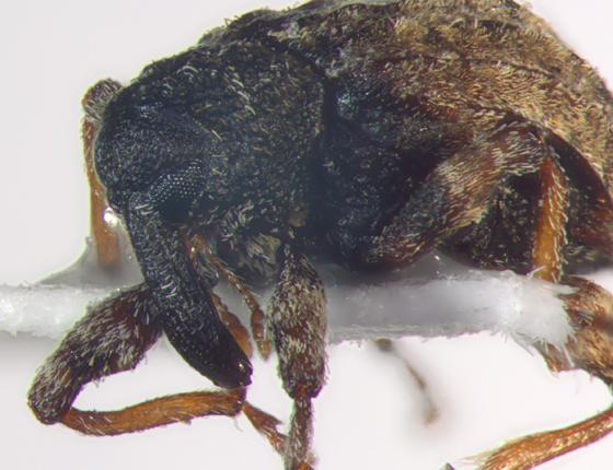 Curculionidae, head - Conotrachelus seniculus