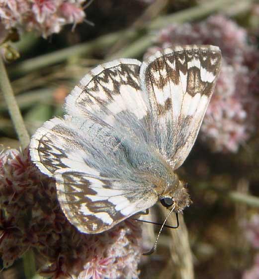 Northern White-Skipper - Heliopetes ericetorum - female