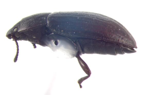 Tenebrionidae, lateral - Blapstinus metallicus