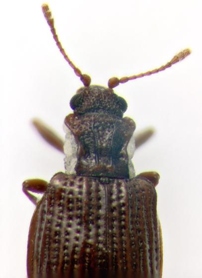 Latridiidae, head & pronotum - Stephostethus liratus