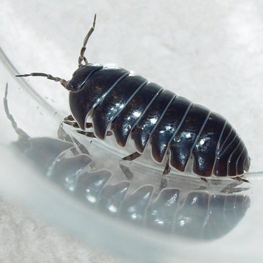 Armadillidiidae? - Armadillidium vulgare