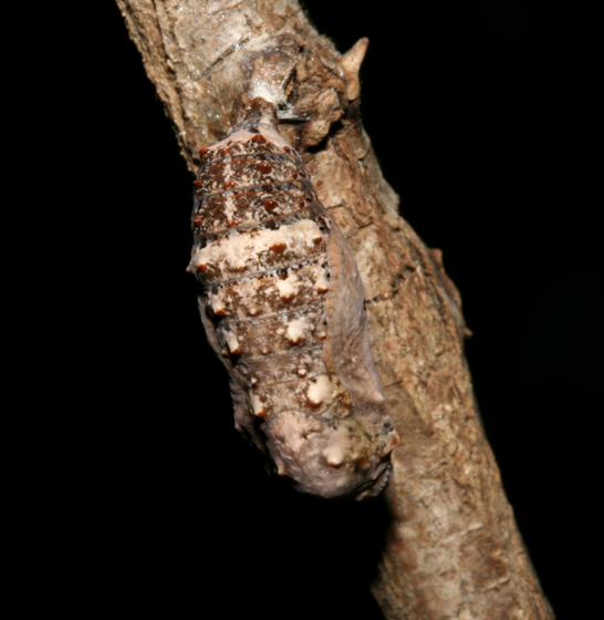 Nymphalidae, Buckeye, pupa - Junonia coenia
