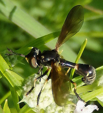 Thick-headed fly - Physoconops obscuripennis - female