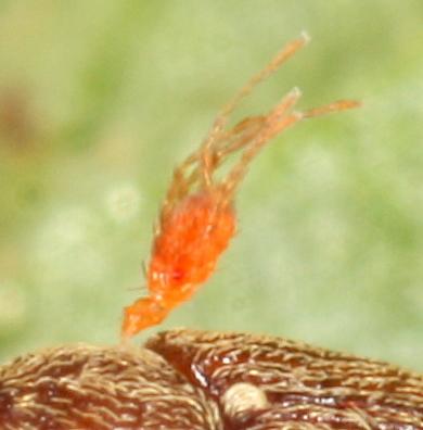 Mite on weevil - Leptus
