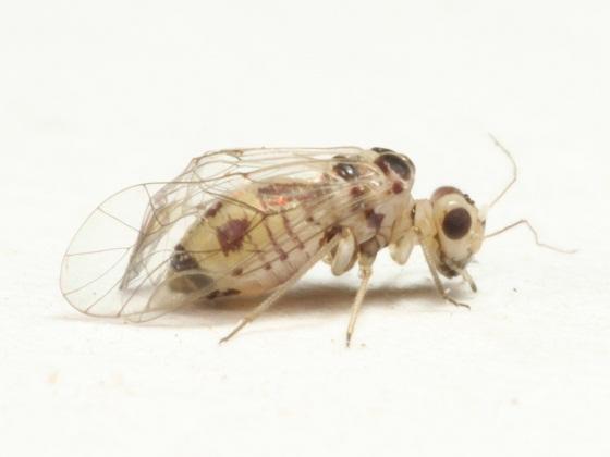 Blastopsocus variabilis (Aaron) - Blastopsocus variabilis - female