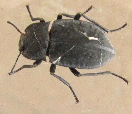Darkling beetle - Subfamily Opatrinae? - Stenomorpha opaca