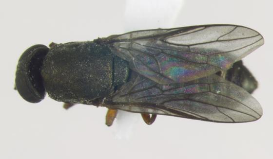 Scenopinidae, dorsal - Scenopinus - female