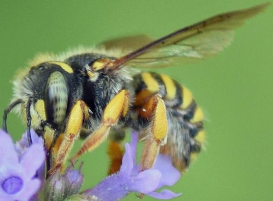 Bee - Anthidium oblongatum - female