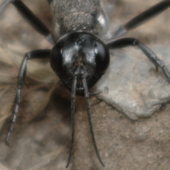 very long thin black wasp with red on abdomen ammophila bugguide net. Black Bedroom Furniture Sets. Home Design Ideas