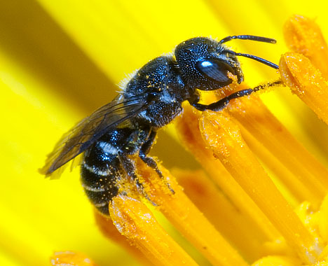 Small bee - Heriades - female