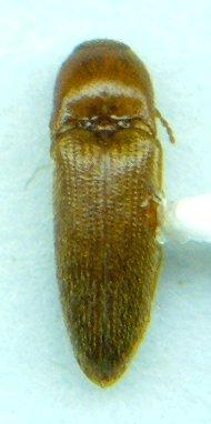 Elaterid - Ampedus luteolus