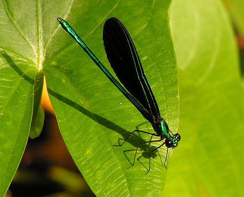 green damselfly - Calopteryx maculata