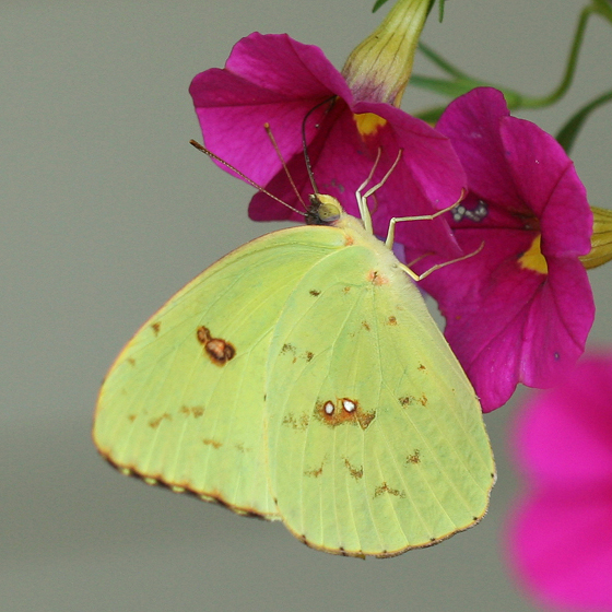 Cloudless Sulphur - Phoebis sennae - female